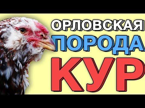Подробный разбор содержания Орловских кур