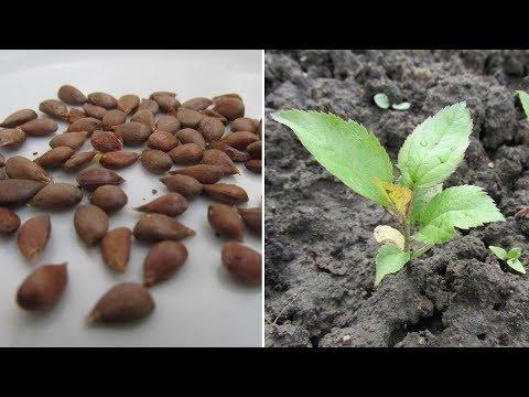 Способы размножения яблони на своем участке