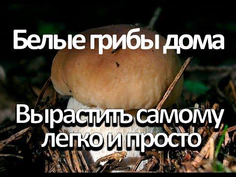 Как вырастить белый гриб в домашних условиях?