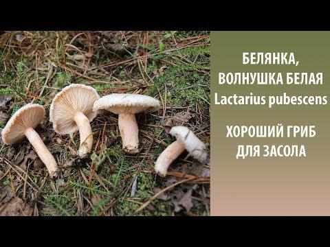 Особенности гриба Беляк, выращивание и способы приготовления
