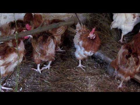 Особенности содержания яичных кроссов породы Хай Лайн