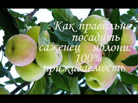 Когда и как правильно сажать яблони на участке?