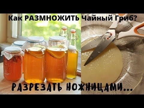 Как правильно разделить чайный гриб?