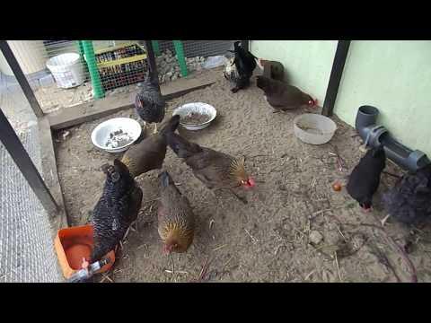 Особенности породы кур Итальянская куропатчатая