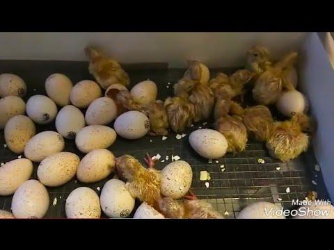 Особенности проведения инкубации индюшиных яиц в инкубаторе