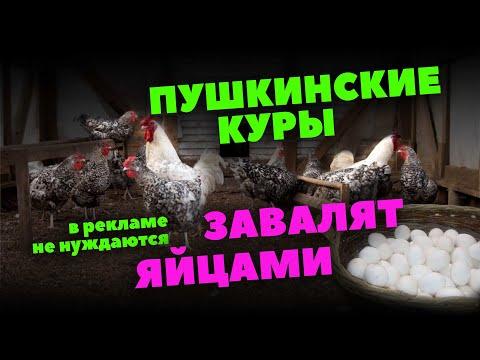 Курица-пеструшка – идеальная порода для разведения на ферме