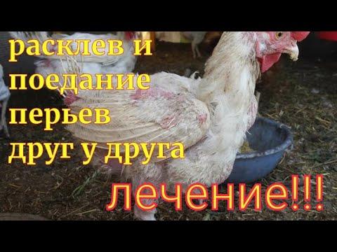 Почему курица ест перья и что с этим делать?
