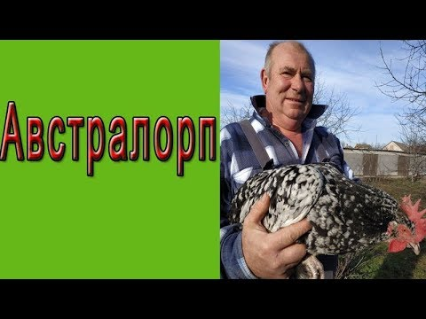 Отличительные черты кур породы Австралорп и их разведение