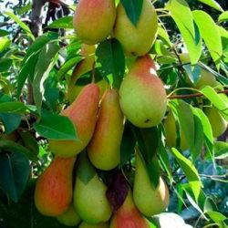 фотоКак выращивать саженцы груши разных сортов