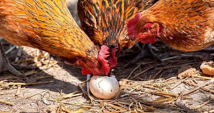 Куры клюют яйца фото