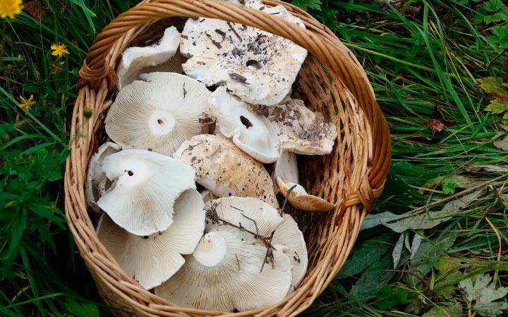 съедобный гриб беляк
