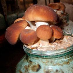 фото Как вырастить белый гриб в домашних условиях?