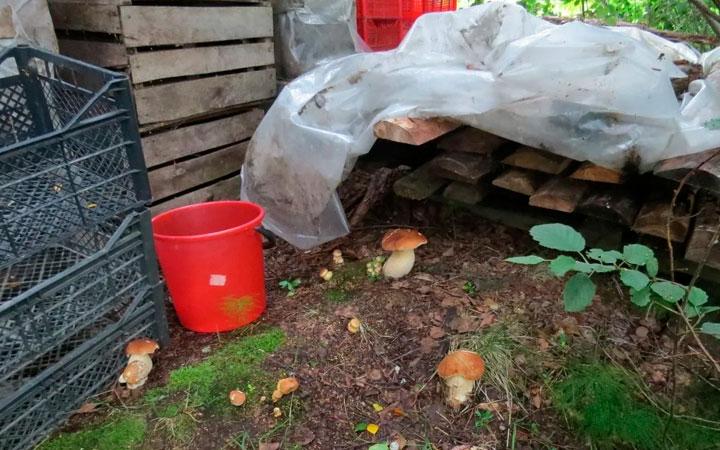 выращивание белых грибов на участке