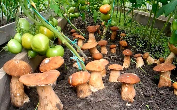 посадка белых грибов на огороде