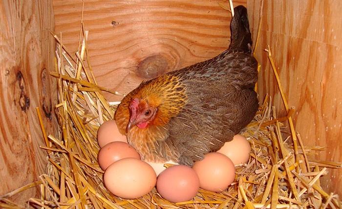 Наседка на яйцах