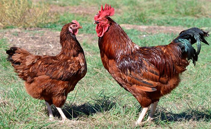 Петух и курица Браун Ник фото