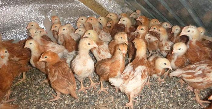 Птенцы породы Браун Ник фото