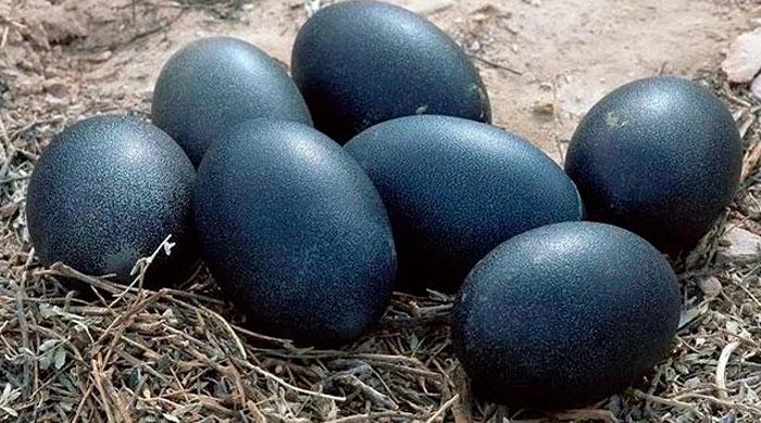 Яйца курицы породы Аям Цемани