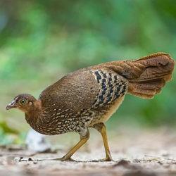 фото Виды диких куриц и особенности их содержания в домашних условиях