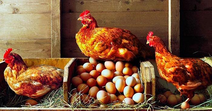 Здоровая курица фото