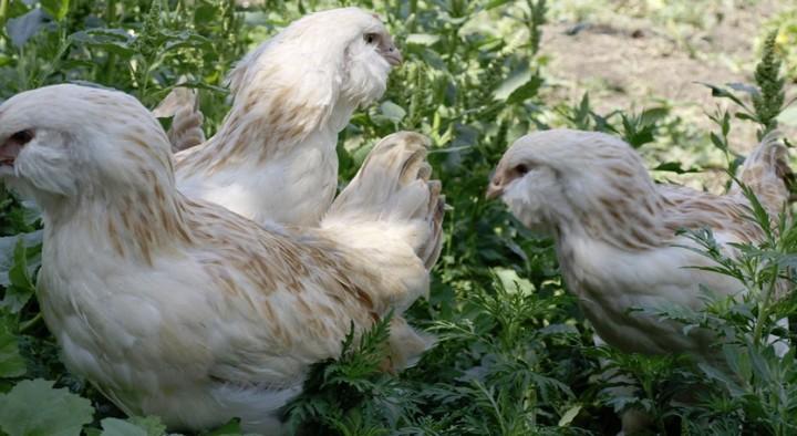 курица фавроль