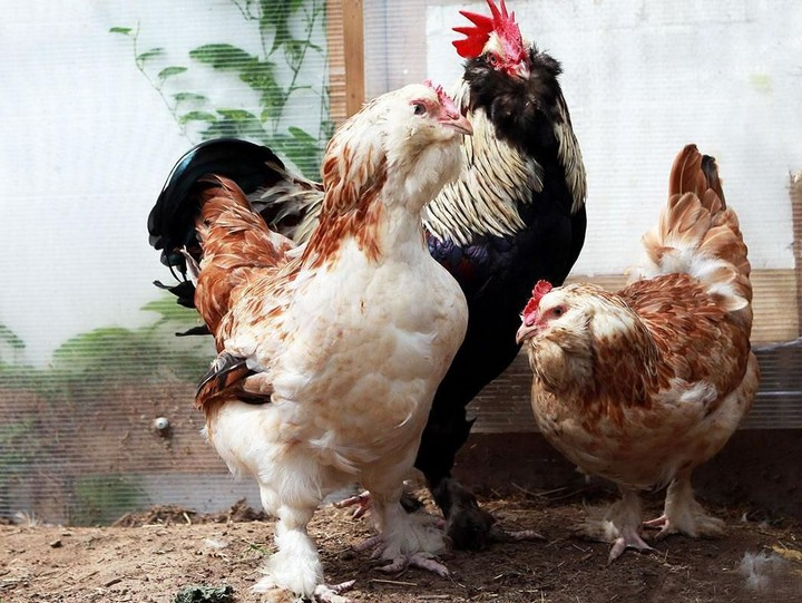 порода куриц фавероль