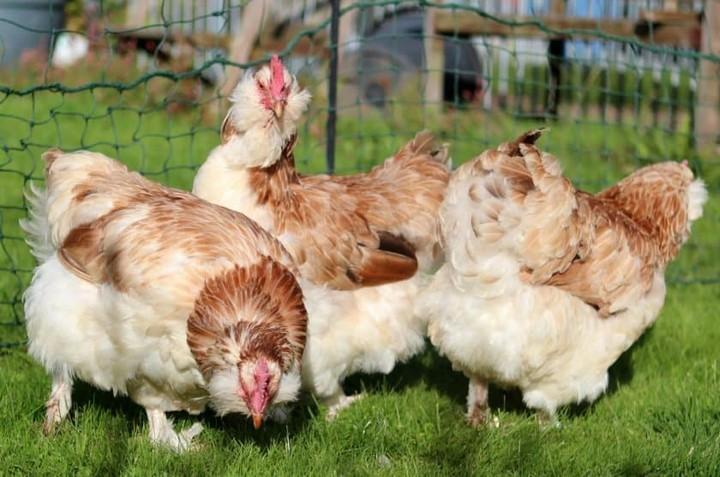 курятник куриц фавероль