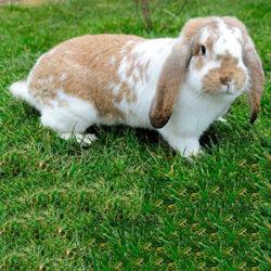 фото Особенности и характеристика кролика породы Французский баран