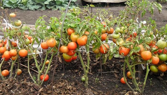 Спелые томаты фото