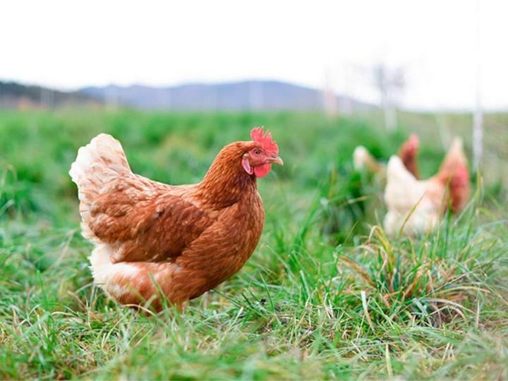 Хайлайн порода кур