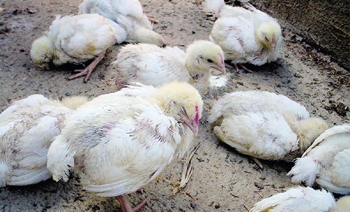 Инфекция Гамборо у кур