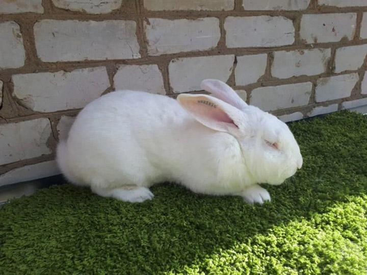 кролик породы Хиколь