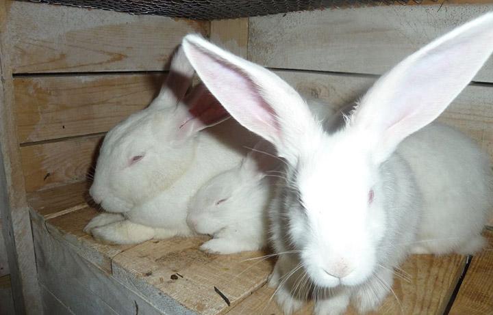 кролики породы Хиколь