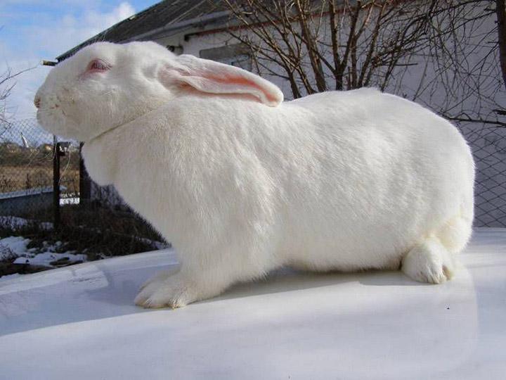 кролик породы Хиколь на улице