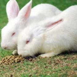 фото Тонкости содержания кроликов породы Хиколь