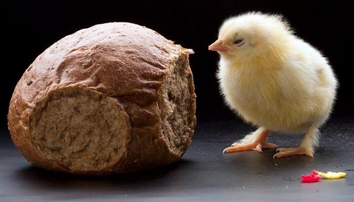 Черный хлеб курам