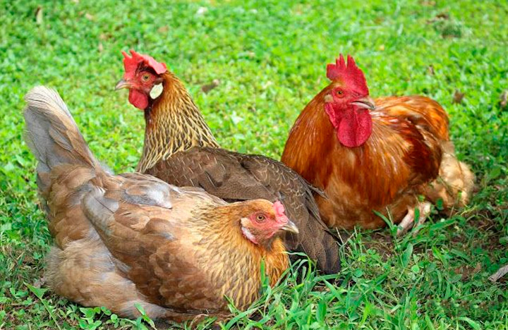 разновидности куриц породы итальянская куропатчатая