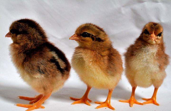 цыплята итальянской куропатчатой