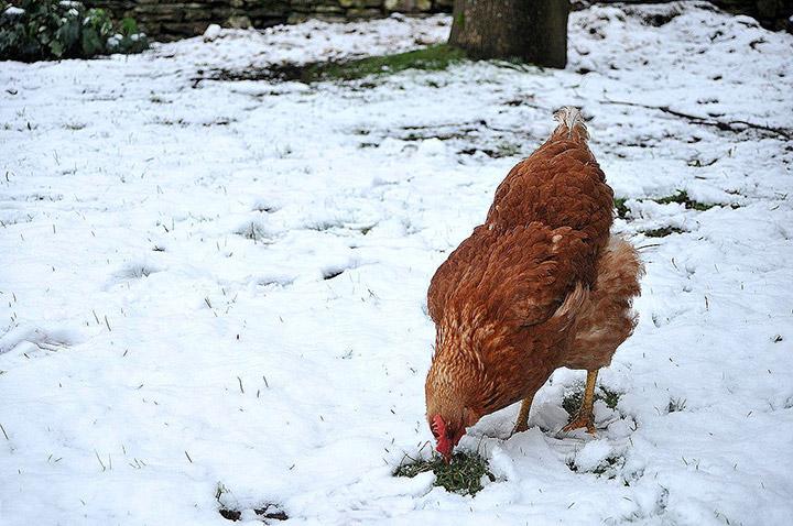 курица зимой на улице