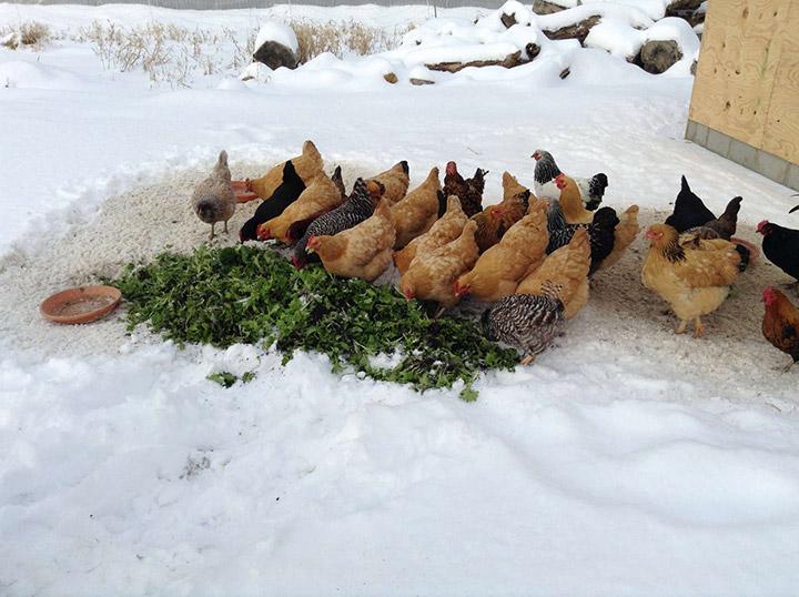 сушеная трава для кур