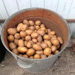 фото Как правильно кормить бройлеров картошкой?