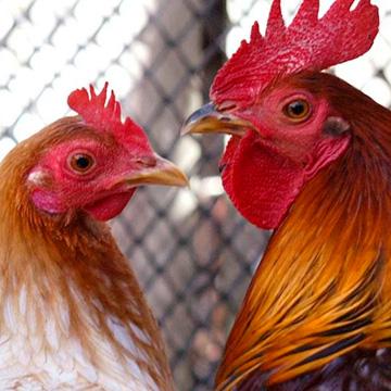 Для чего проводят кастрацию петухов и стерилизацию кур?