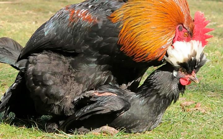почему кастрируют и стерилизуют кур