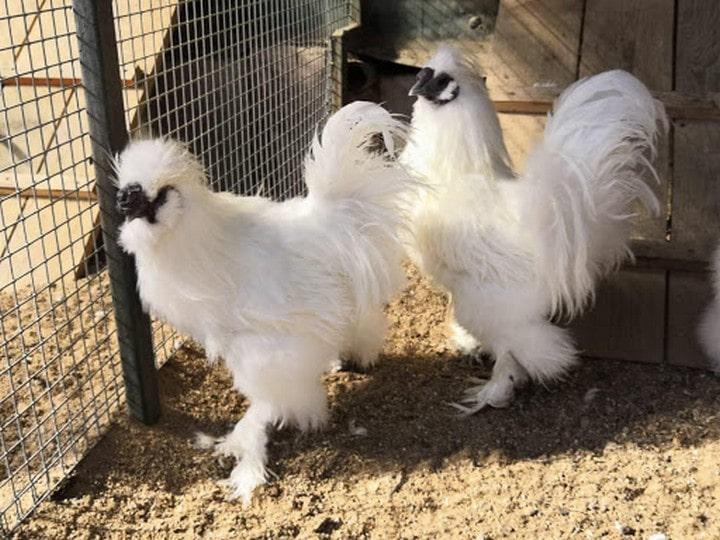 курятник китайской породы курицы