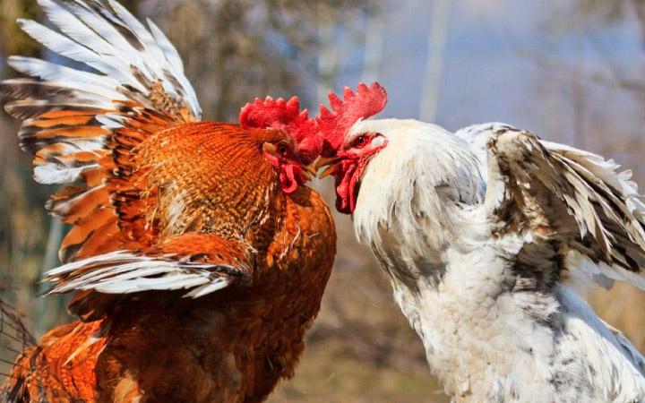 агрессивный петух клюет курицу