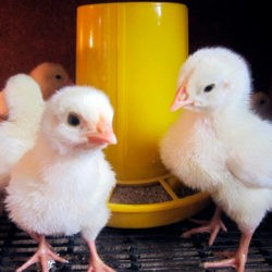 фотоСколько корма нужно бройлеру от цыпленка до забоя