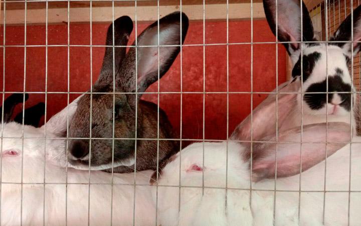 Подготовка к забою кроликов