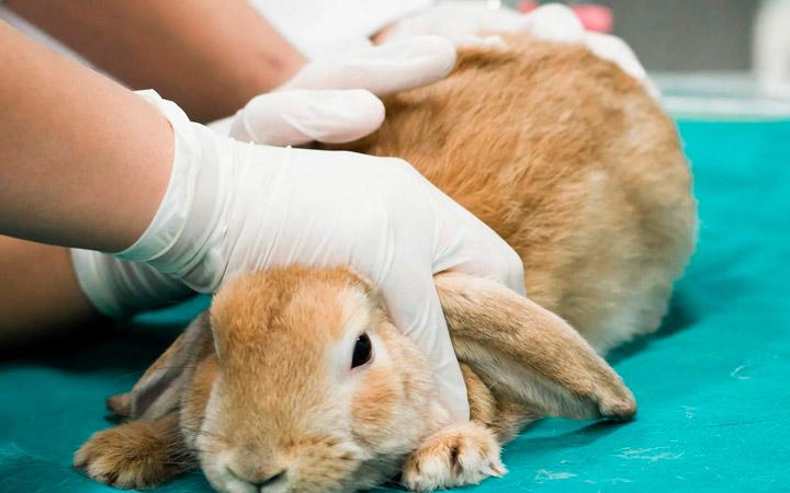 осмотр кроликов
