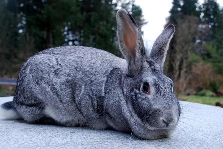 кролик породы шиншила