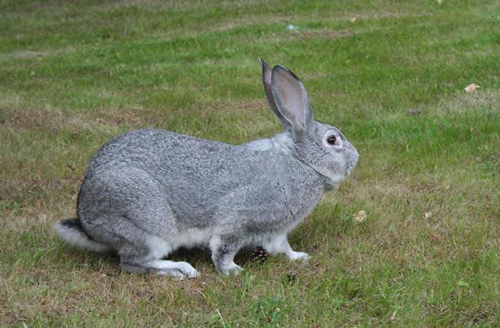 кролик породы советская шиншила